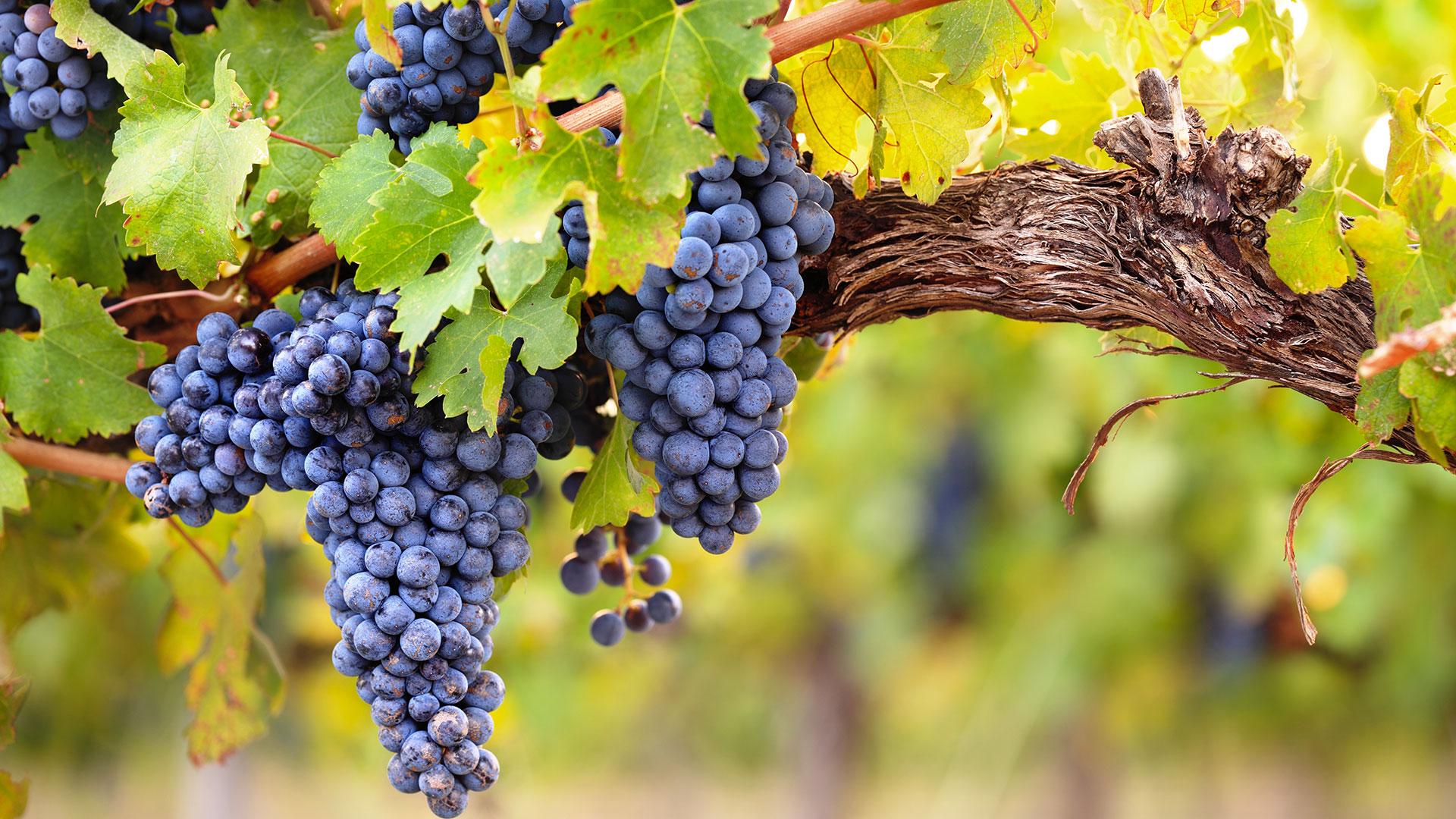uva-vino-pugliese-casa-vinicola-coppi